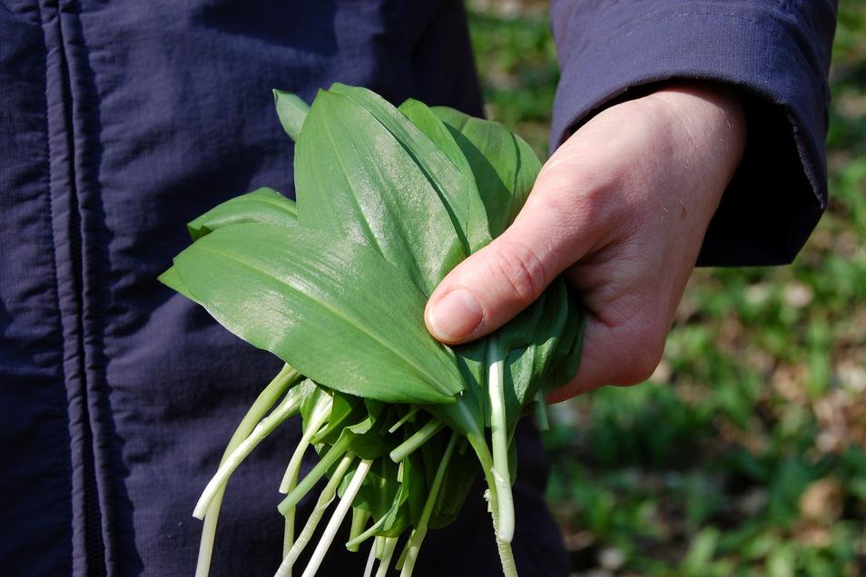 Bärlauch ist das erste Küchenkraut, das in der Saison wächst.