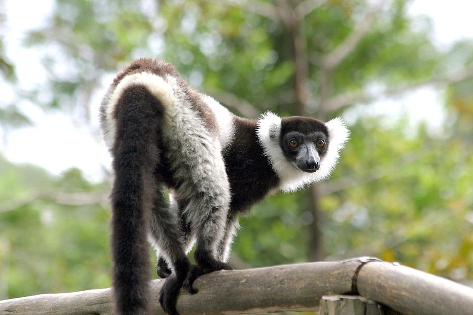 Lemuren aus Madagaskar gehören zu den besonders geschützen Tierarten.
