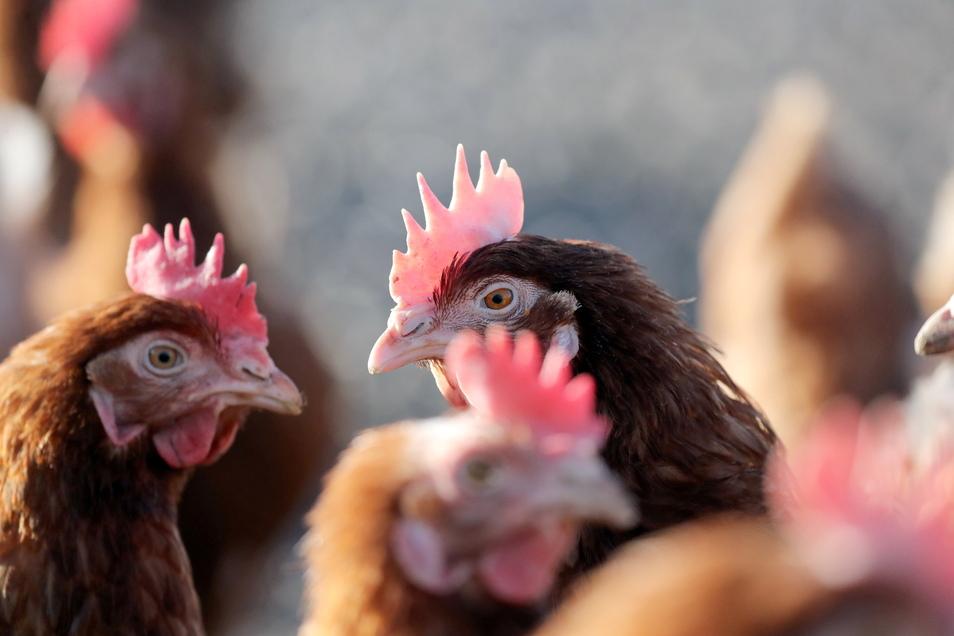 Hühner dürfen in Dresden wieder raus.