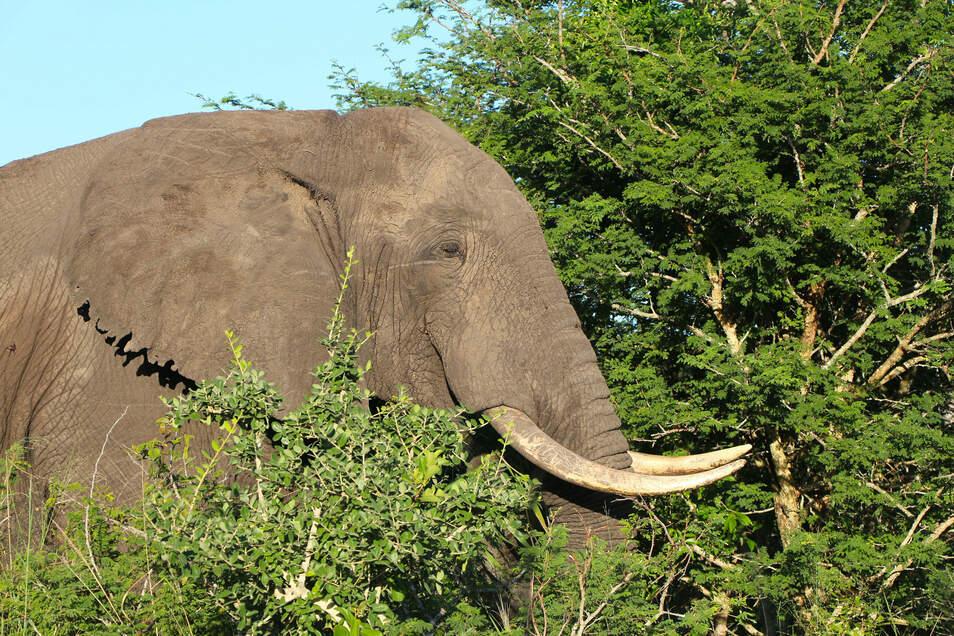 Können von Reisenden bald wieder bestaunt werden: Elefanten in Südafrikas Nationalparks.