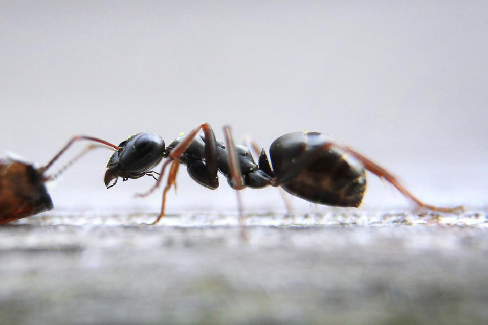 Einzelne Ameisen müssen Mieter ertragen. Nistet sich aber eine ganze Kolonie häuslich in der Wohnung ein, sollten sie den Vermieter informieren.