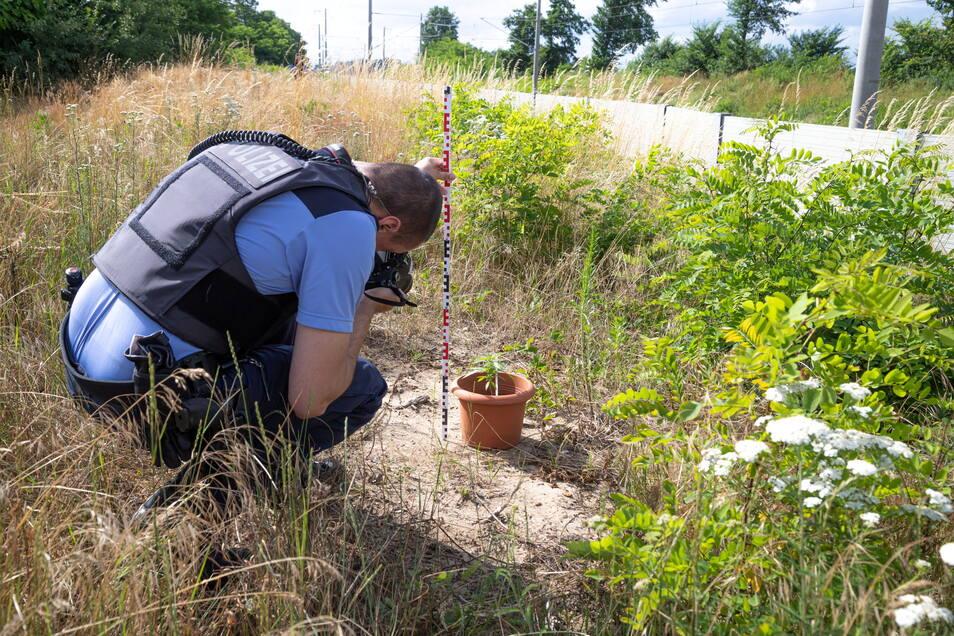 Ein Polizeibeamter nimmt Maß an einem der am Donnerstag aufgefundenen Blumentöpfen mit Cannabis.