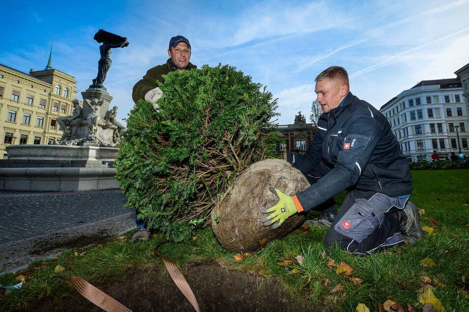 2014 wurden auf dem Görlitzer Postplatz mehrere Kugeleiben gepflanzt. Ihr Wachstum wird jedoch von Vierbeinern gefährdet.