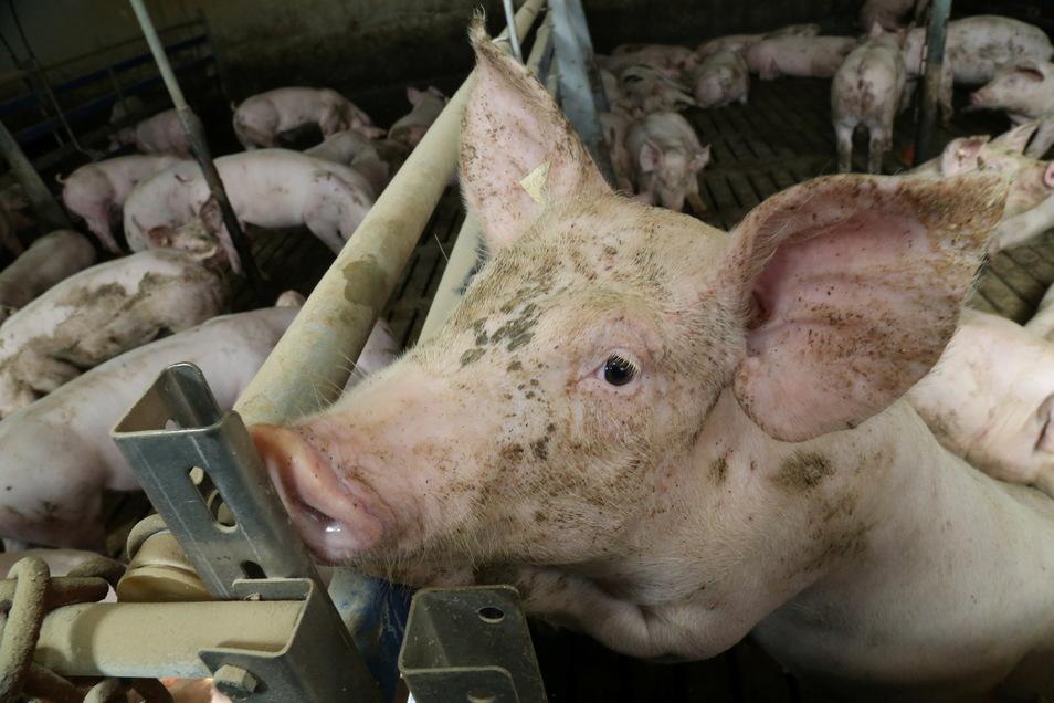 Die Kosten für Laboruntersuchungen auf das Schweinepest-Virus übernimmt bei Mastbetrieben in der Sperrzone II ab 1. September der Freistaat.