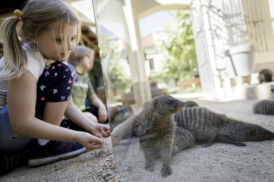 Mangusten angucken, während man auf das Testergebnis wartet: Das geht nur im Tierpark Görlitz.
