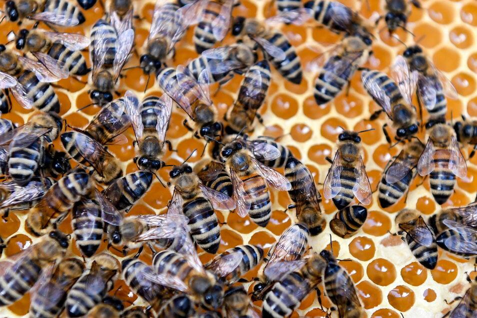 In vier von 28 Bienenkästen sind die Tiere verendet, nachdem sich Unbekannte an den Bienenstöcken zu schaffen gemacht hatten.