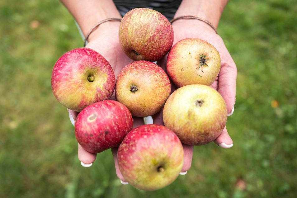 Jetzt ist es an der Zeit, sich mit Äpfeln einzudecken - weil sie gesund sind und weil sie schmecken.