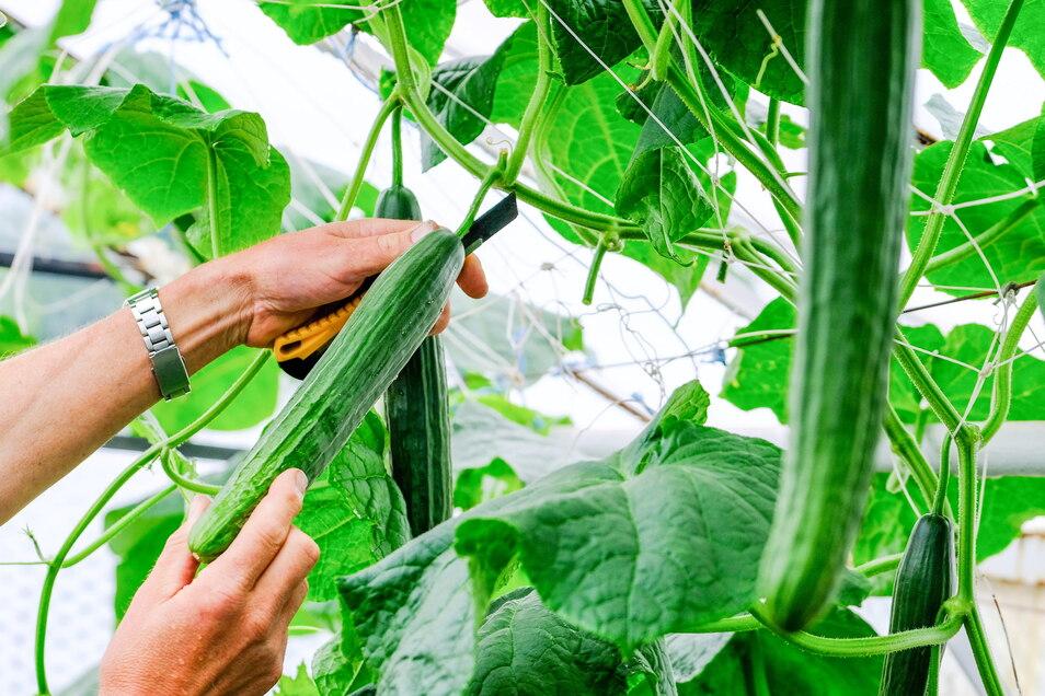 Auch Gurken und Tomaten gibt's bei den Habelts frisch gepflückt.