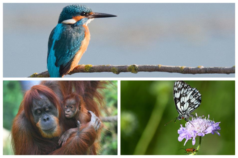 Orang-Utans, Eisvögel und viele Insekten gehören zu den stark bedrohten Arten.
