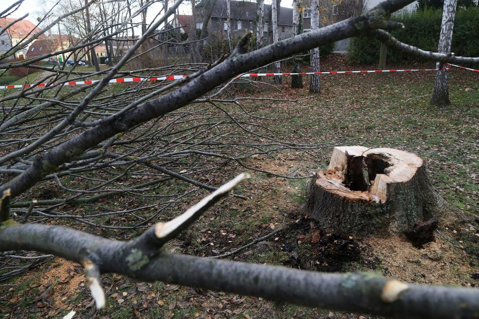 Dieser Baum war im Dezember 2019 in Zeithain angezündet worden.