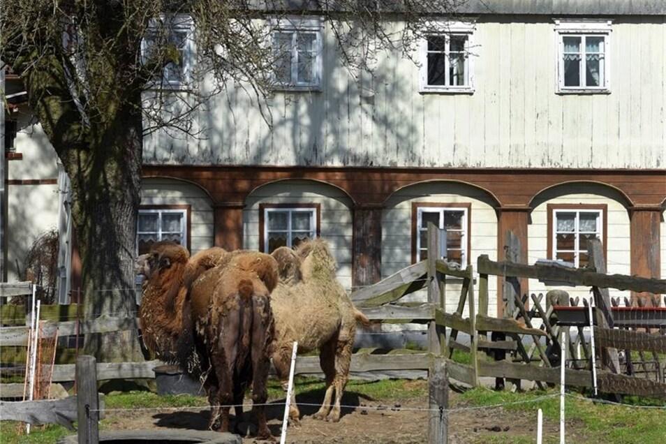 Bei einem Ausflug zum Lamahof in Seifhennersdorf ist jetzt allerdings noch eine Anmeldung ratsam. Das Lama-Stübl´ an der Südstraße 34 wird derzeit nur auf Anfrage geöffnet, berichtet Betreiberin Manuela Knorr. Dann wären auch die Kamele, Lamas, Ziegen und die anderen Tiere vom Hof zu besichtigen.