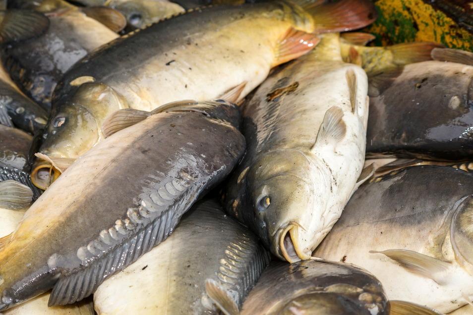 Mehr als drei Viertel der in Sachsen produzierten Speisefische  sind Karpfen.