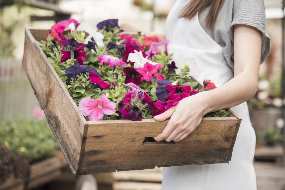 Eigentlich gemein, aber hilfreich: Blütenköpfe abschneiden, sobald sie verwelkt sind, um den Überlebensinstinkt der Sommerblumen anzuregen.