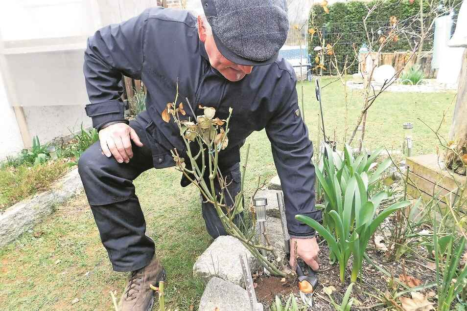 Jens Hofmann ist beim Kürzen der Triebe nicht zimperlich. Zu Radikalschnitten rät er bei Beet-, Bodendecker- und öfters blühenden Rosen.