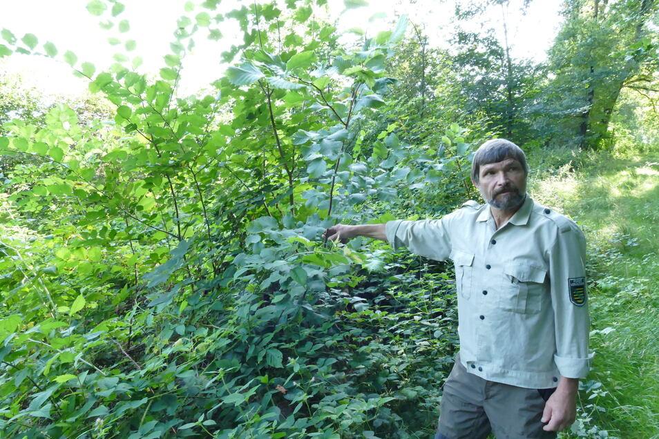 Diese jungen Ulmen, auf die Revierförster Dirk Tenzler hier zeigt, haben sich auf einer Privatwaldfläche im Zweiniger Grund ausgesät. Dort wird bereits auf die Selbstverjüngung des Waldes gesetzt. Ganz ohne den Mensch klappt Wiederaufforstung nicht.