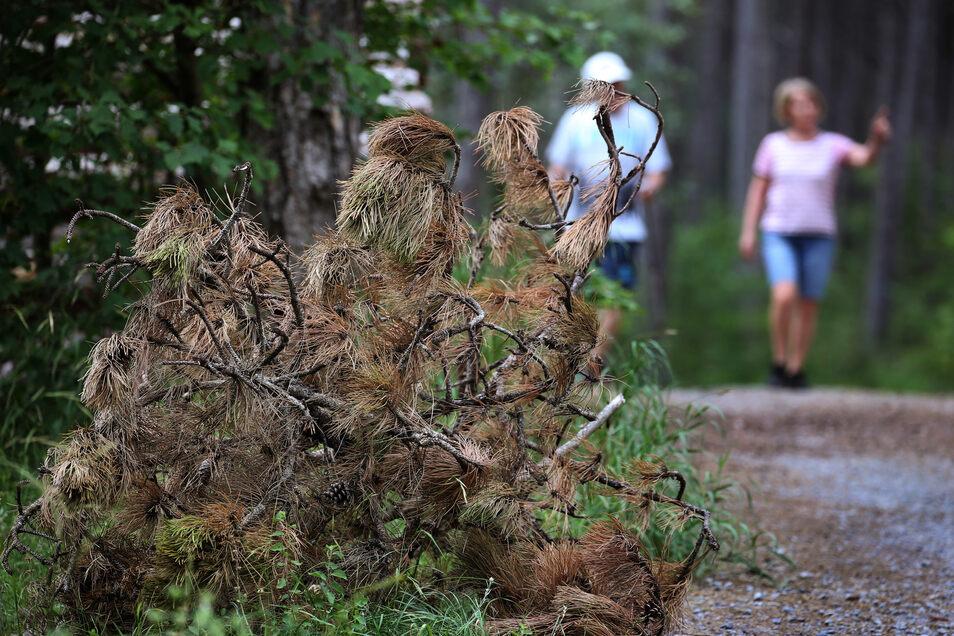 In Deutschlands größtem Scharzkiefernwald auf dem Volkenberg liegen bräunlich verfärbte Schwarzkiefernäste.