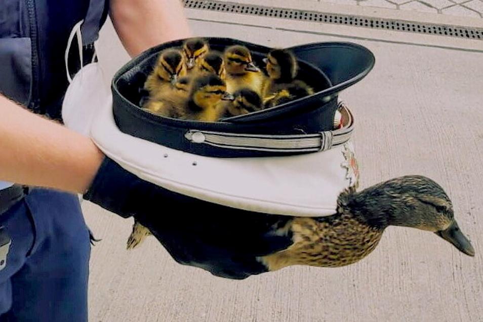 Ein Polizist aus Hagen transportiert mehrere Entenküken in seiner Dienstmütze.