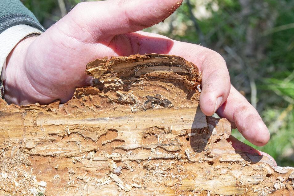 So sieht es unter der Rinde aus, wenn der Käfer mit der Kiefer fertig ist: Weil der Raum zwischen Holz und Borke zerfressen ist, stirbt der Baum ab.