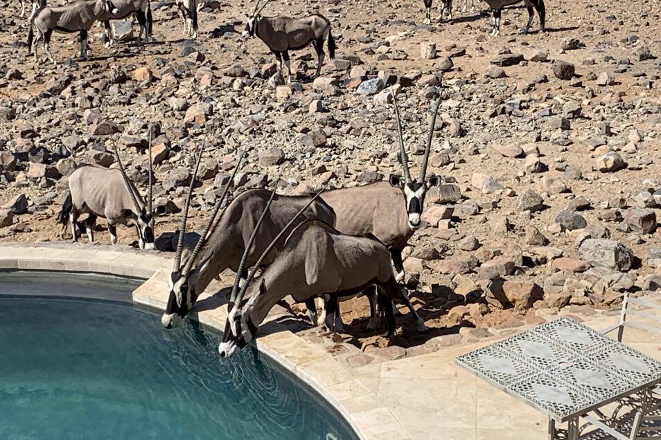 Eine Herde Oryx-Antilopen zieht zum Wasserloch vor der Lodge, die pfeilspitzen Hörner fast ein Meter lang.