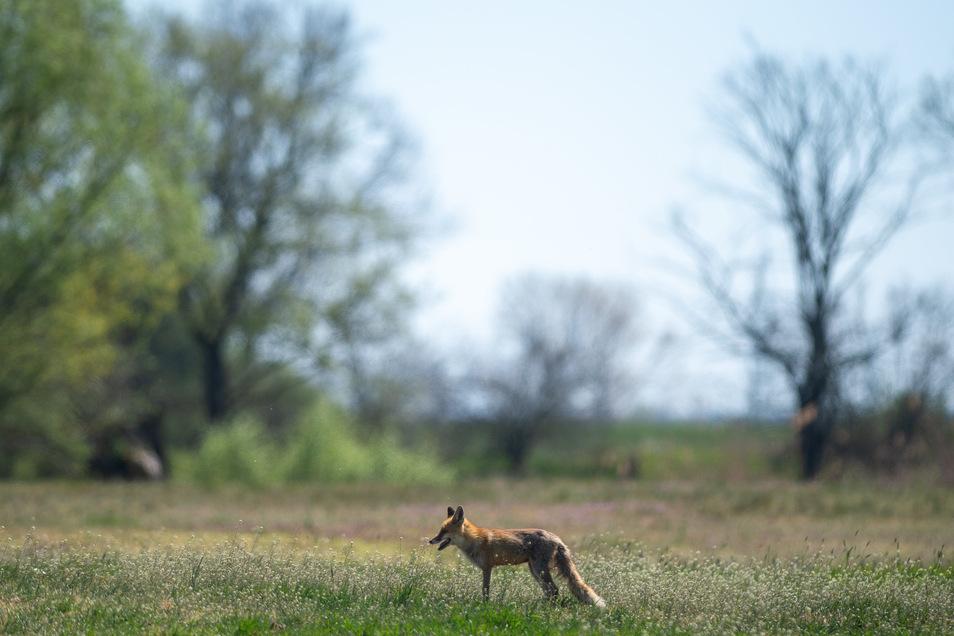 Sachsen-Anhalt, Schartau: Ein Fuchs steht im trockenen Grasland.