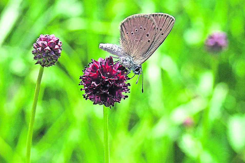 Die Pflanze ist für den geschützten Dunklen Wiesenknopf-Ameisenbläuling überlebenswichtig.