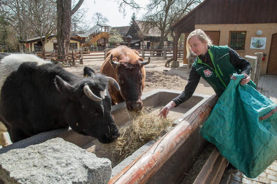 Steffi Späthe füttert die Kühe Heidi (vorn) und Gretel im Tierpark in Görlitz. Beide Vertreter bedrohter Haustierrassen bekommen derzeit weniger Futter: Sie sind auf Diät gesetzt.