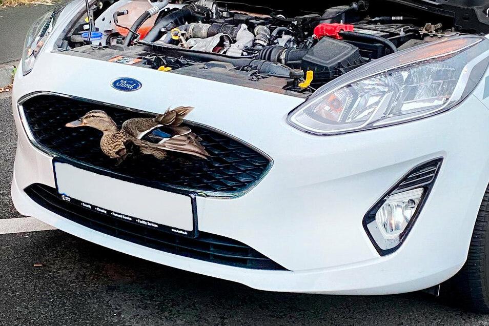 Die Ente war auf der Autobahn 45 mit dem Auto zusammengestoßen und steckte im Kühlergrill des Fahrzeugs fest.