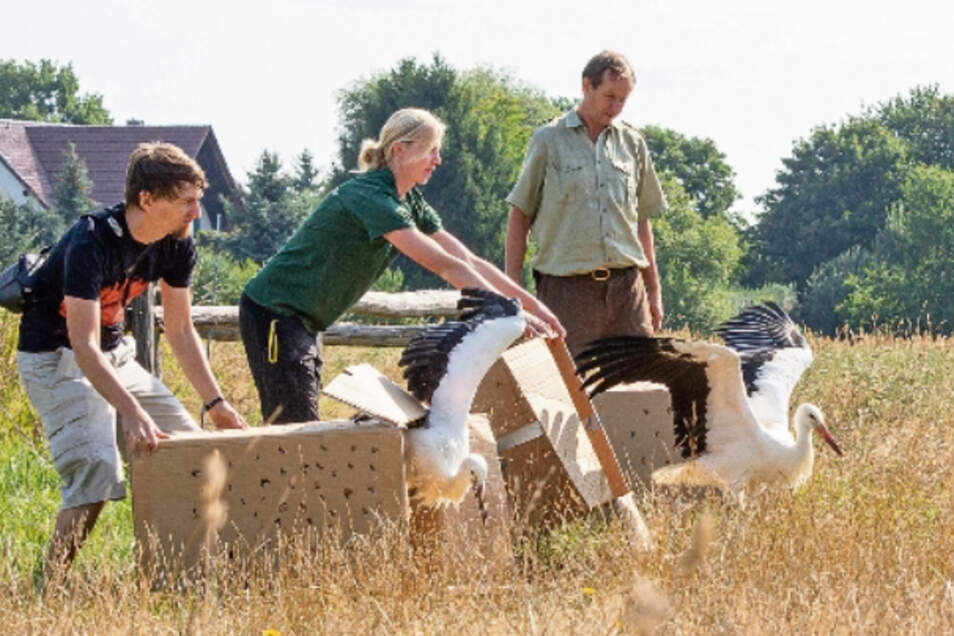 Mitarbeiter des Görlitzer Tierparks lassen an einem Feld bei Wartha die drei Weißstörche frei.
