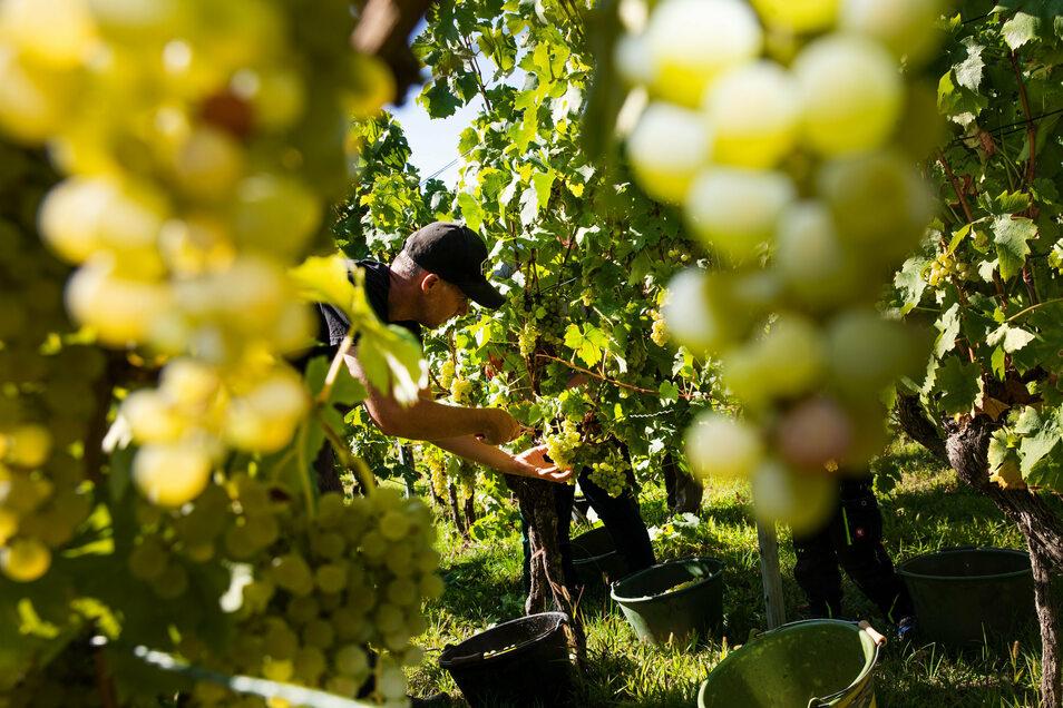 Sachsenweit ist die Weinlese beendet. Die Erntemenge liegt voraussichtlich etwas unter dem Schnitt der vergangenen zehn Jahre.