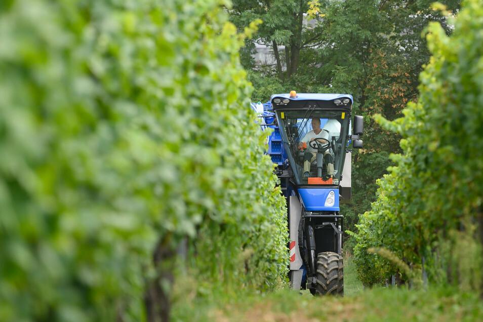 Ein Traubenvollernter von New Holland Braud fährt am Rande eines Pressetermins durch einen Weinberg und erntet die Rebsorte Scheurebe. Am gleichen Tag wurden im Weinberg innovative Anwendungen für den ländlichen Raum präsentiert.