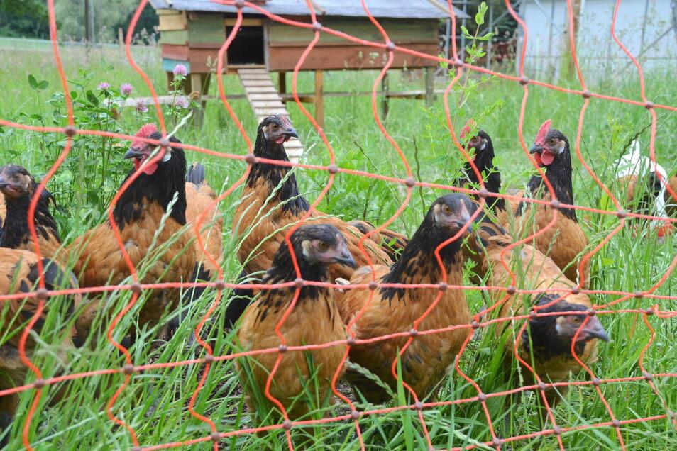 Die 60 Vorwerkhühner leben unter freiem Himmel und nicht im engen Stall. Sie liefern die frischen Eier.
