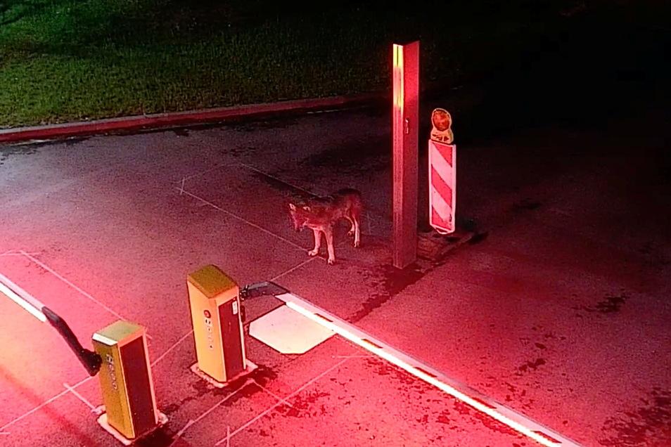 Eine Überwachungskamera der Rheinenergie im Kölner Stadtteil Neuehrenfeld hält den Besuch des Wolfs fest.