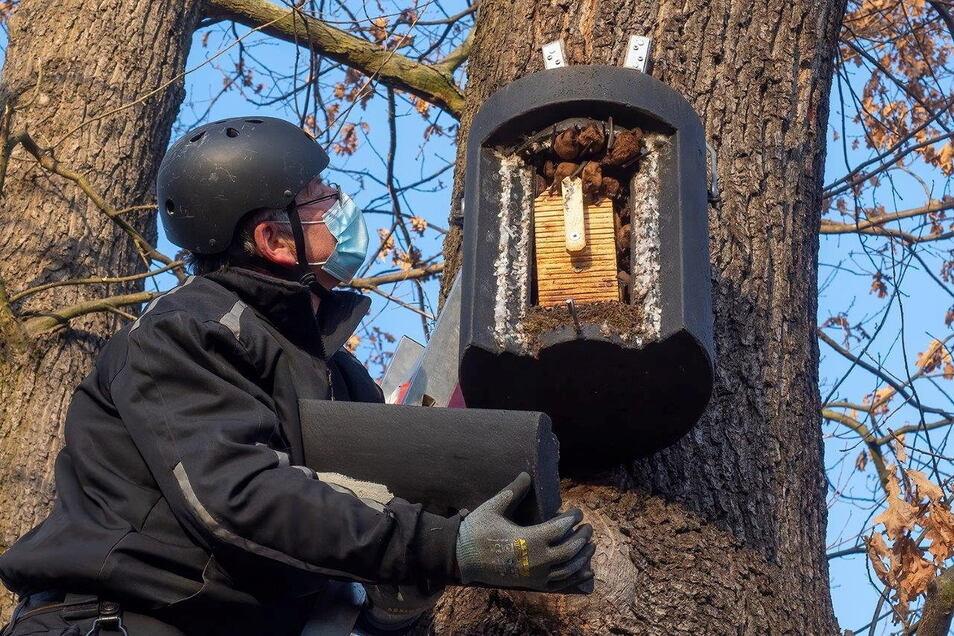 Steffen Pocha bei der Kontrolle eines Fledermauskastens, in dem Große Abendsegler hängen.