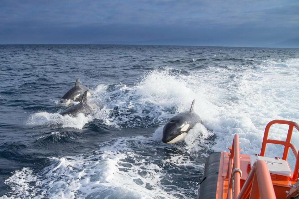Das undatierte Foto zeigt drei Schwertwale, die neben einem Seenotrettungsboot schwimmen.