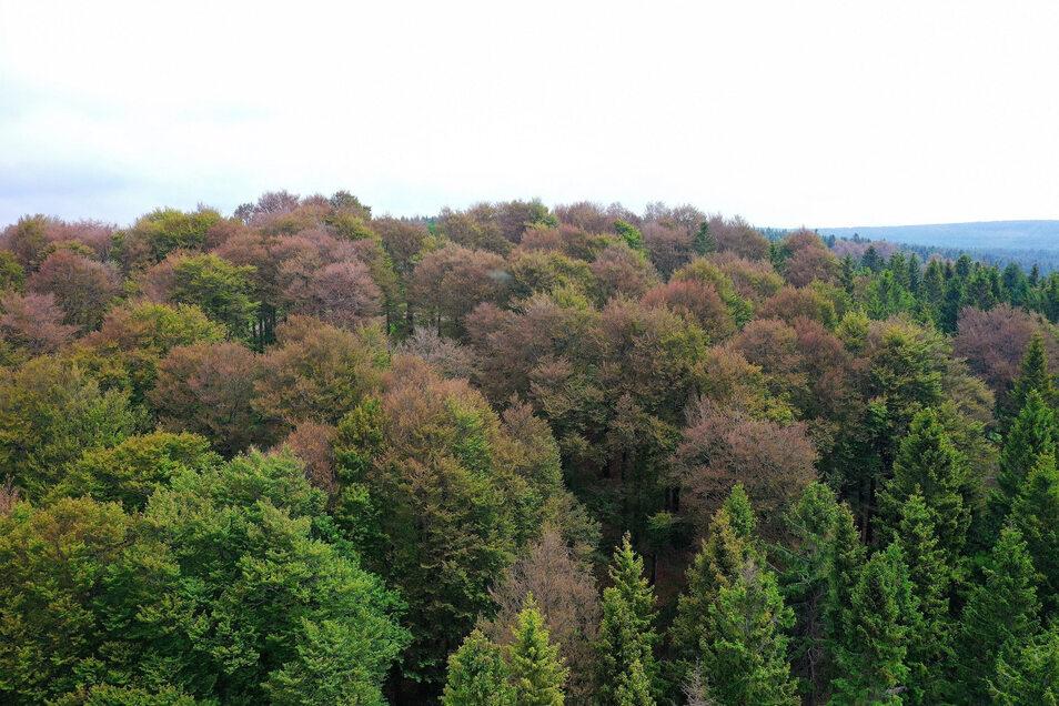 Braun und kahl stehen diese Buchen im Wald bei Rehefeld inmitten des Grüns der wiedererwachenden Natur, hier ein Blick zum Hemmschuh mit seinem Altbestand