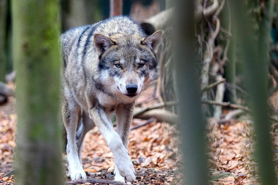 Der Wolf schleicht durch die Region rund um Ostrau. Mehrfach wurde er gesichtet. Ist er nun Schuld am Tod von mehreren Schafen?