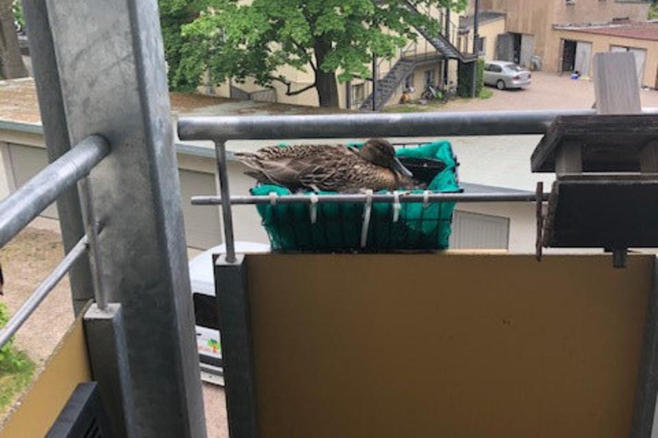 Diese Stockente brütet jetzt in einem Kasten an einem Balkon des Ständehauses in Görlitz.