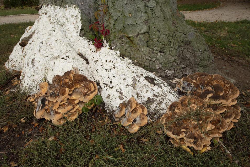 Inzwischen haben sich Pilze am Stamm ausgebreitet – für die Baumexpertin vom Stadtgrün ein Zeichen, dass der Baum nicht mehr zu retten ist.