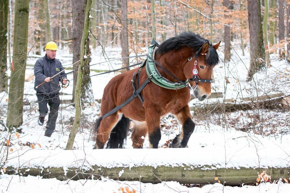 Edward, ein Rheinisch-Deutsches Kaltblut, wurde für die Online-Präsentation der Moritzburger Hengste beim Holzrücken im Wald gefilmt.