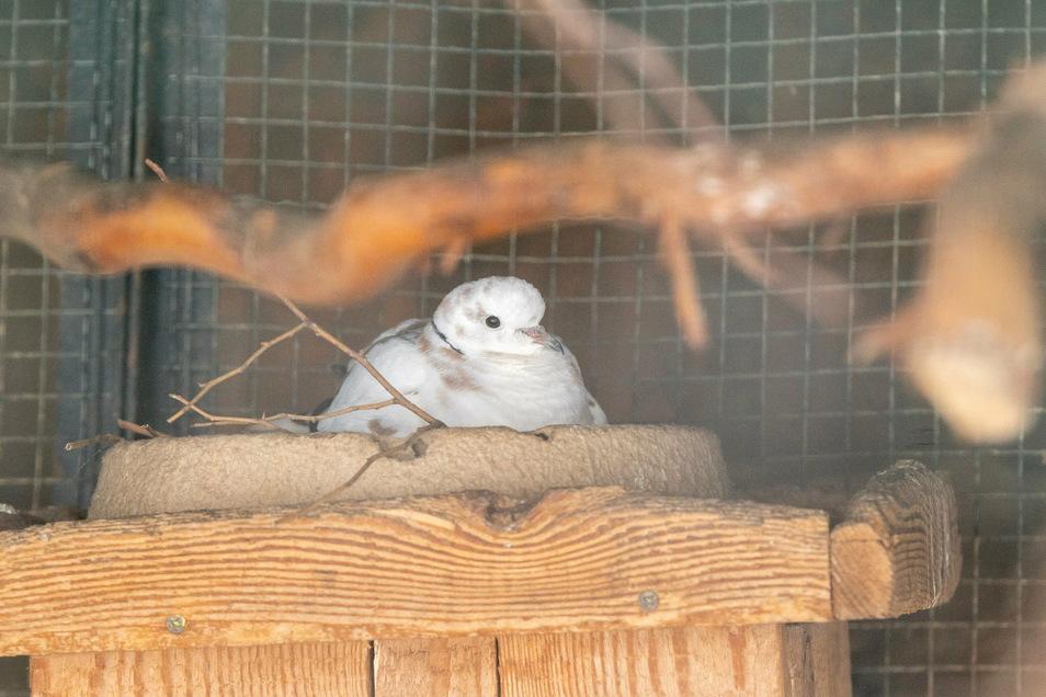 Trotz frostiger Temperaturen brütet im Riesaer Tierpark eine Taube.