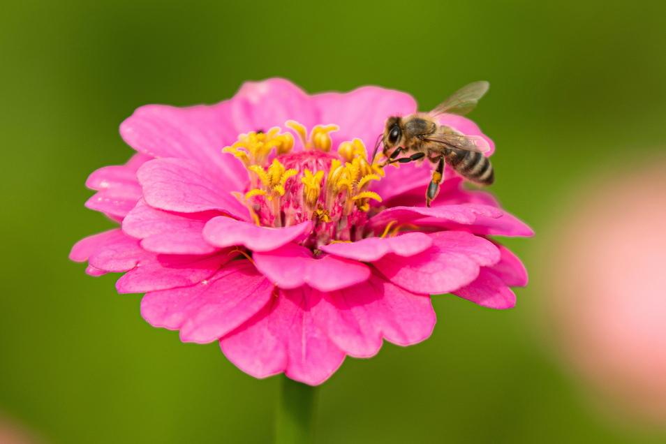 Hält sich länger als Gerbera - die Zinnie: Zinnien sind farbenfroh und blühfreudig. Die Korbblütler durften früher in keinem Bauerngarten fehlen.