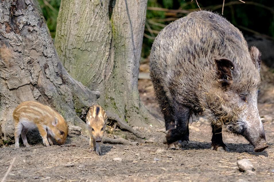 Jetzt haben die Wildschweine Nachwuchs. Bachen mit Frischlingen dürfen Jäger deshalb ohnehin nicht schießen.