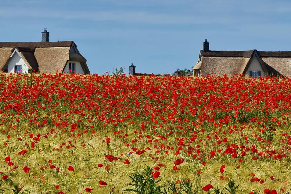 Ständiger Begleiter: Herrlich roter Klatschmohn säumt die Getreidefelder.
