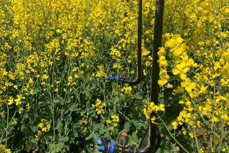 Über lange Stangen wird das Pflanzenschutzmittel unterhalb der Blüte auf die Felder gesprüht.