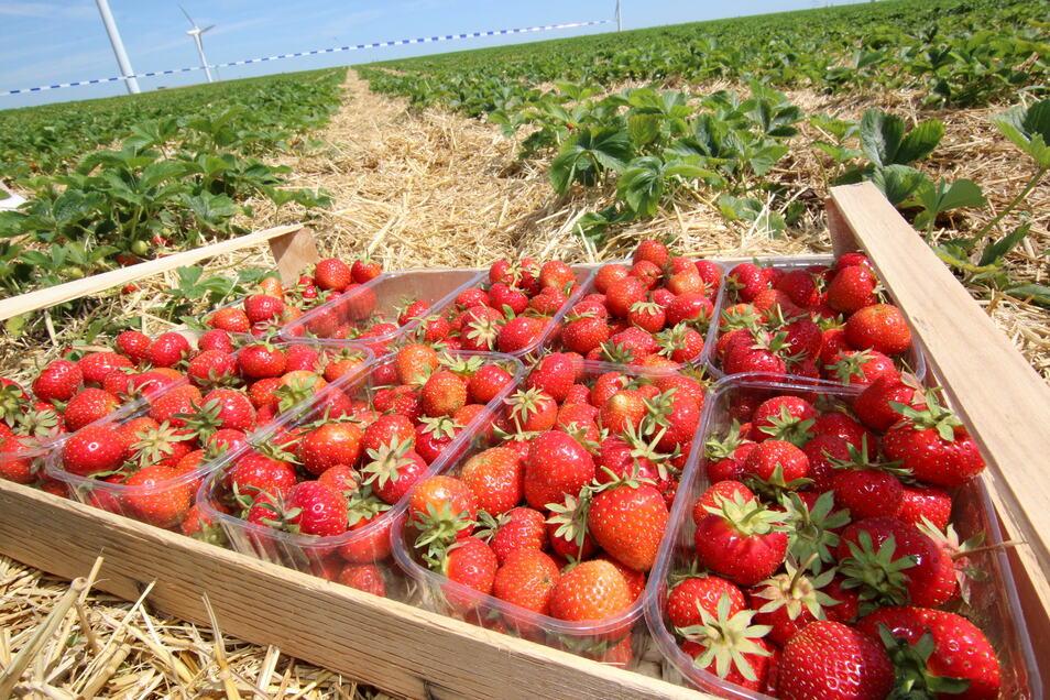 Wer nicht selbst aufs Feld möchte und die roten Beeren pflücken, der kann sie in den Hofläden, an Straßenverkaufsständen, in ausgewählten Baumärkten sowie an Wochenmarktständen erwerben.