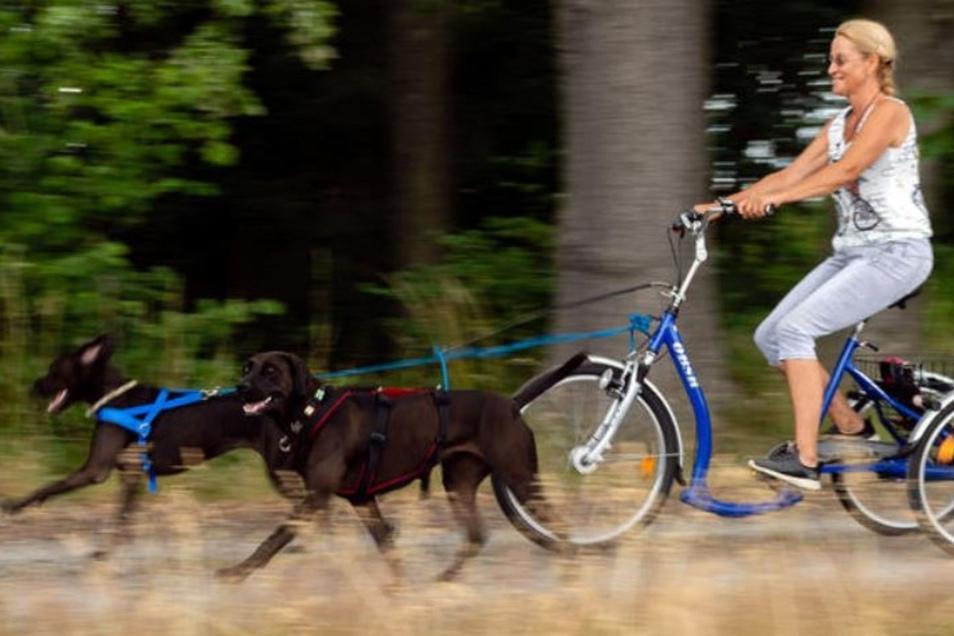 Wenn die beiden Hündinnen Luna und Inti loslaufen, nimmt das Dogtrike von Hundetrainerin Iris Bahrke-Schabacker ordentlich Fahrt auf. Damit die Hunde dabei auch Spaß haben und sich nicht verletzen, ist vorheriges Training und die richtige Ausrüstung uners