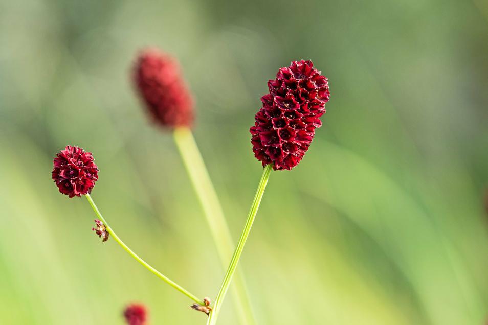 Der Große Wiesenknopf ist von der Loki Schmidt Stiftung zur Blume des Jahres 2021 gewählt worden.