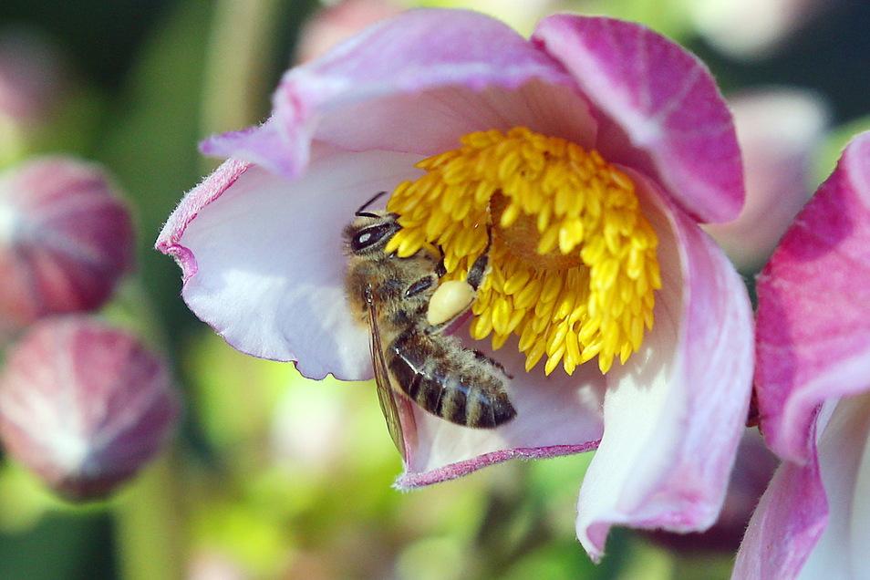 Das feuchte Wetter hat Bienen in diesem Jahr weniger sammeln lassen als in den Vorjahren.