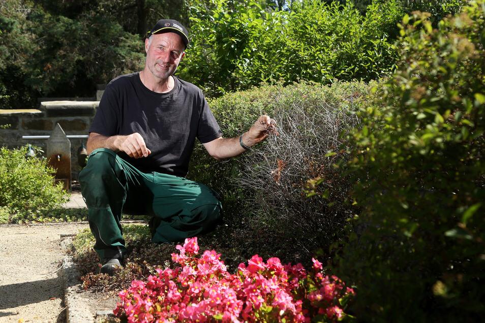 Friedhofsmitarbeiter Carlo Schulz zeigt  Trockenschäden an einer Hecke auf dem Friedhof am Mergendorfer Weg in Riesa. Ohne ständiges Gießen wären hier viele Pflanzen schon vertrocknet, sagt er.
