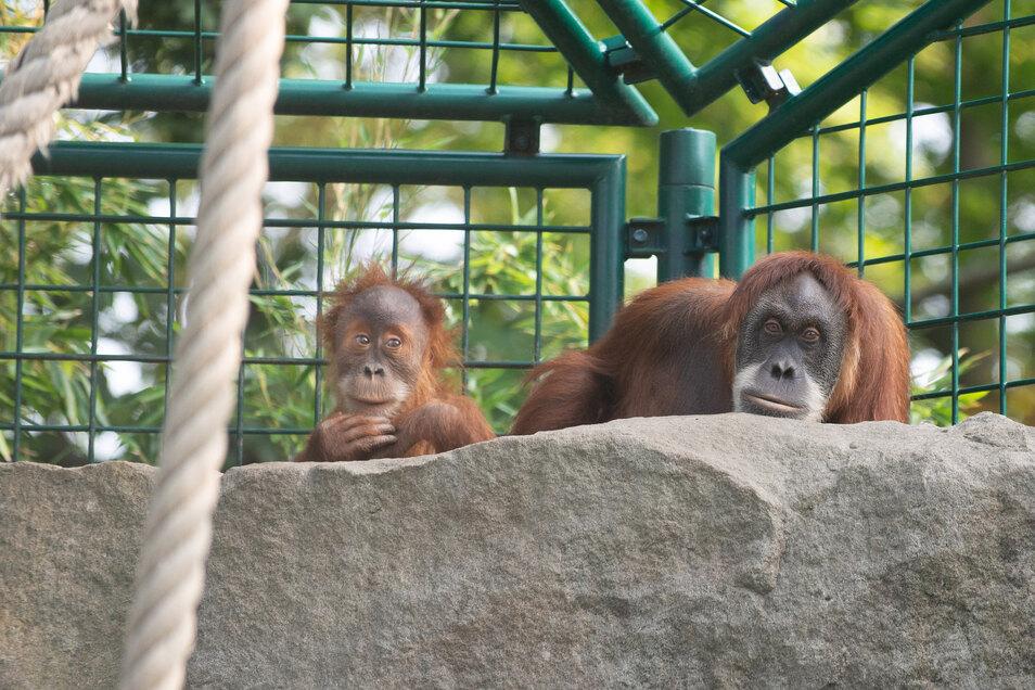 Der Zoo kann den Bau eines neuen Orang-Utan-Hauses beginnen. Dafür bekommt der Dresdner Sport weniger Geld.